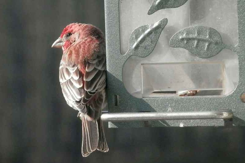 Picture of a house finch bird.