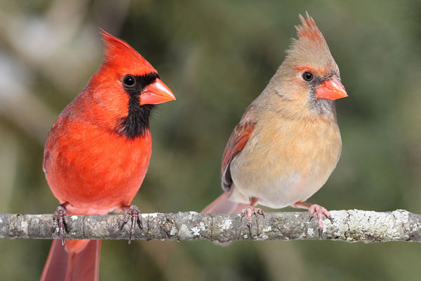 The Northern Cardinal Bird
