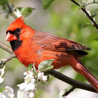 Tips on how to attract Cardinals to your yard
