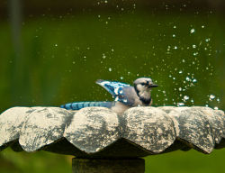 Picture of a bird enjoying a bird bath.