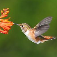 A guide to creating a hummingbird garden to attract these beautiful birds