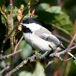 Identify Black Capped Chickadee