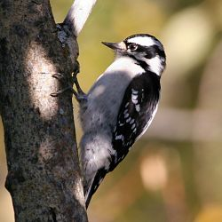 Identify The Downy Woodpecker Bird