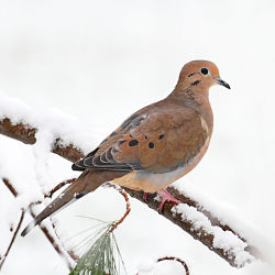 Identify Mourning Dove