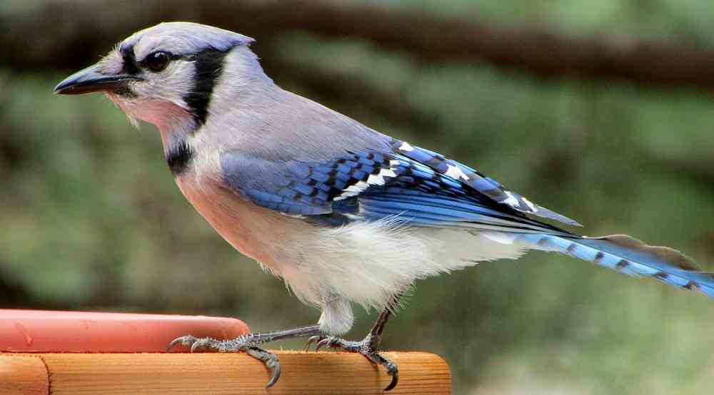 The Blue Jay Bird