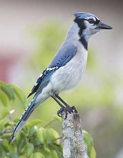 Bluejay Bird