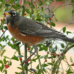 Picture of an American Robin