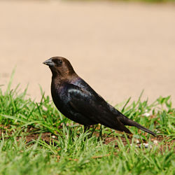 Identify Brownheaded Cowbird