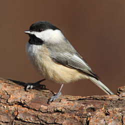 The Carolina Chickadee Bird