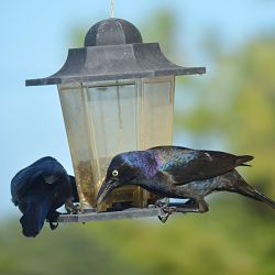 Identify Common Grackle