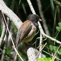 Identify Dark Eyed Junco