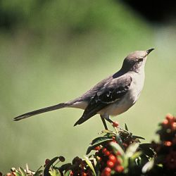 Identify Northern Mockingbird