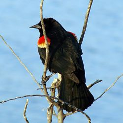 Identify Red Winged Blackbird