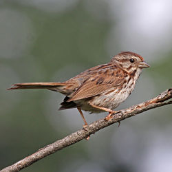 Identify Song Sparrow
