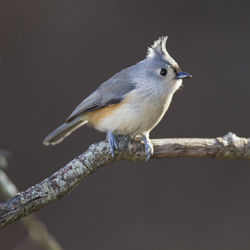 Identify Tufted Titmouse