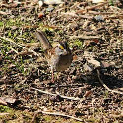 Identify White Throated Sparrow