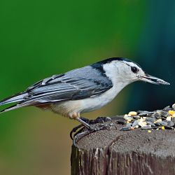 A look at the white-breasted nuthatch bird
