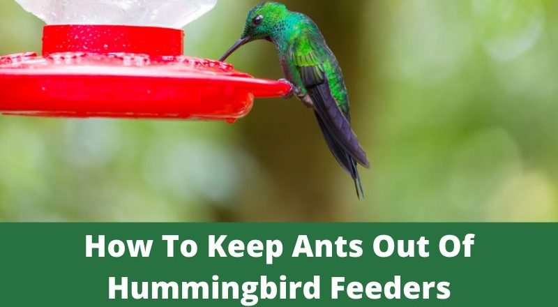How To Keep Ants Out Of Hummingbird Feeders