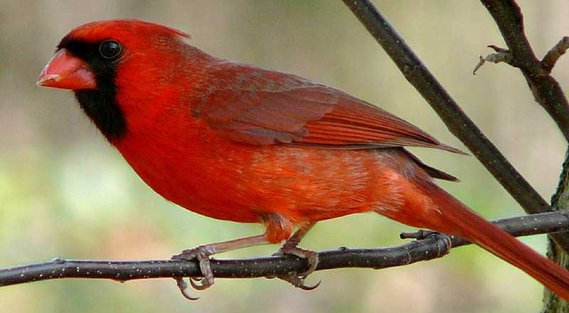 Northern Cardinal Facts