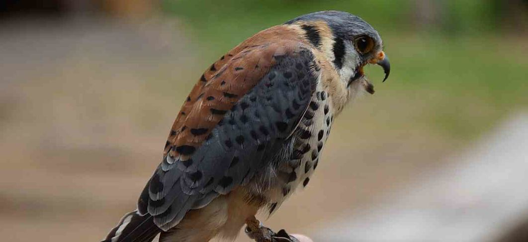 American Kestrel Raptors Birds