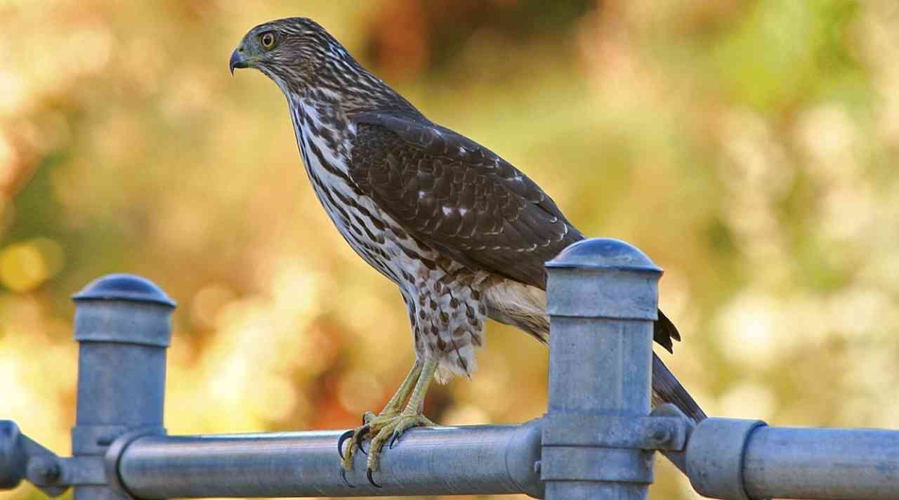 Coopers Hawk Raptor Bird