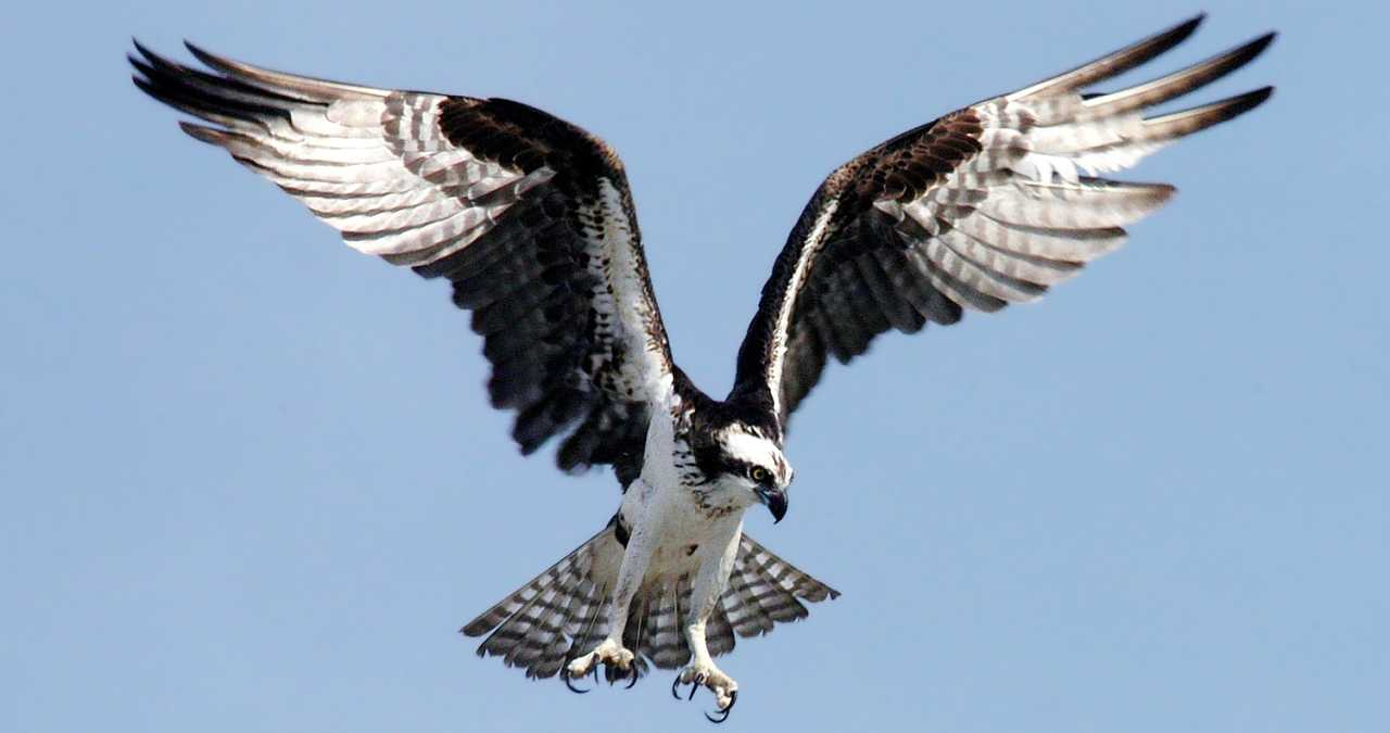 Osprey Raptor Bird