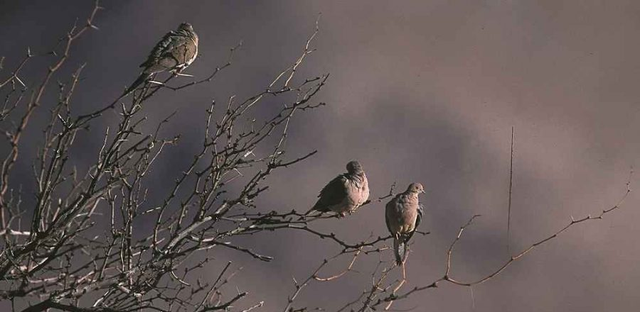 Fun Mourning Dove Facts