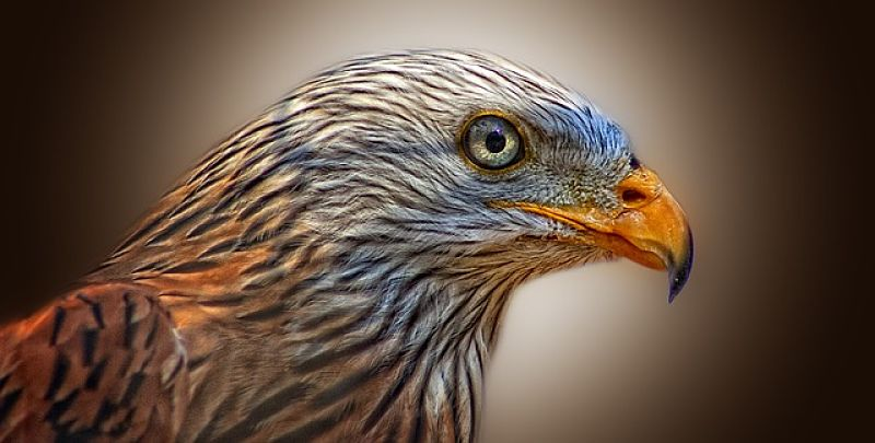 Red Kite Bird