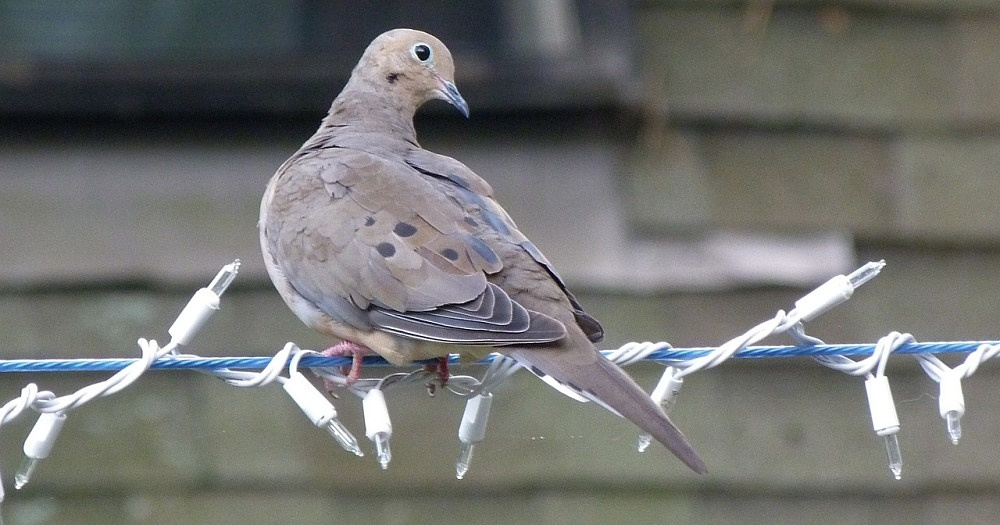 The Mourning Dove Bird