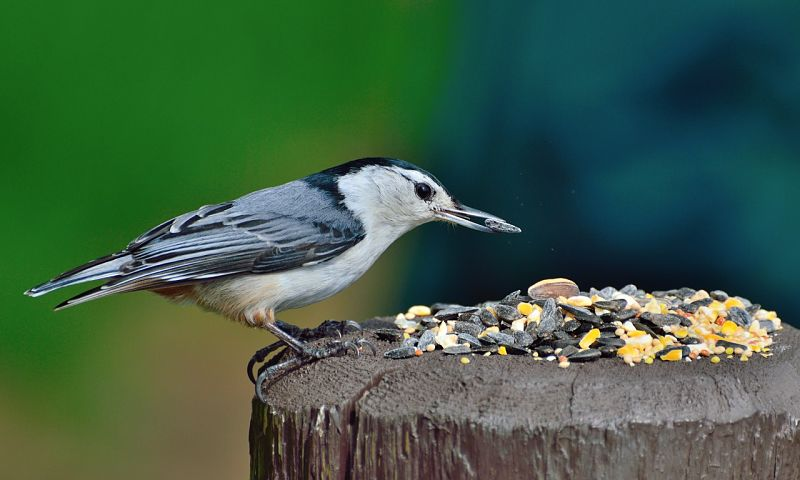 A look at the white-breasted nuthatch bird species