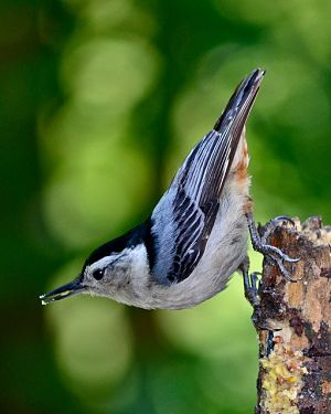 A picture of a white-breasted nuthatch bird in its natural habitat