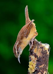 A picture of the Carolina wren song bird