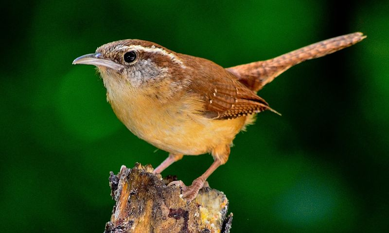A beautiful example of the Carolina wren bird species.
