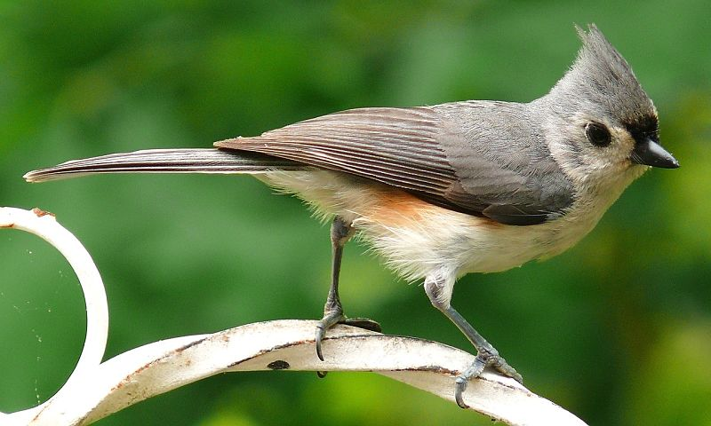A gorgeous example of the tufted titmouse bird species