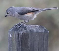 A beautiful tufted titmouse on a wooden post