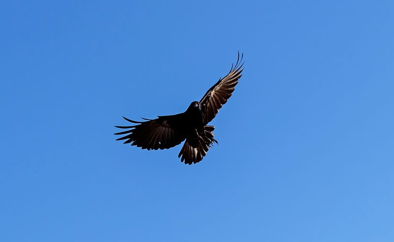 Picture of an American Crow bird in flight