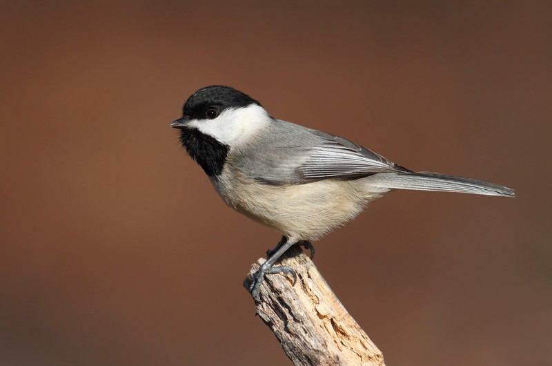 Picture of a Carolina chickadee bird.