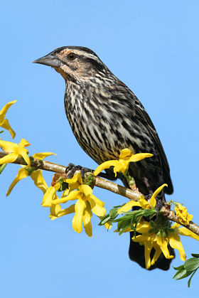 Picture of a female red-winged blackbird