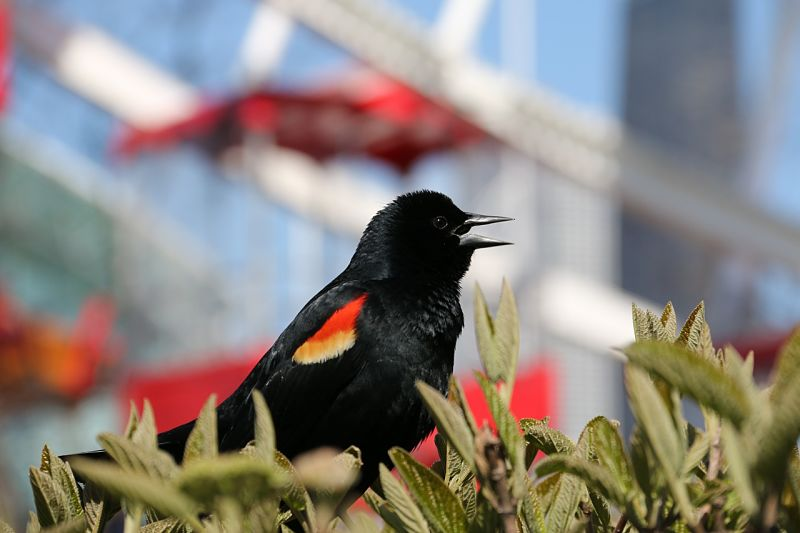 Picture of a red-winged blackbird.