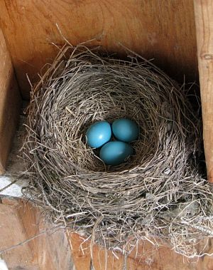 Picture of an American Robin nest and eggs