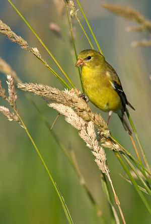A female American goldfinch bird