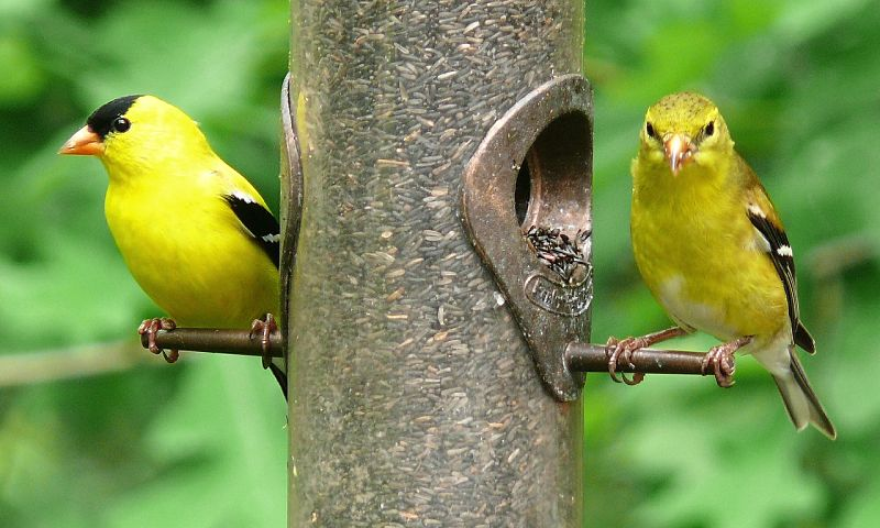 Picture of two American Goldfinch birds