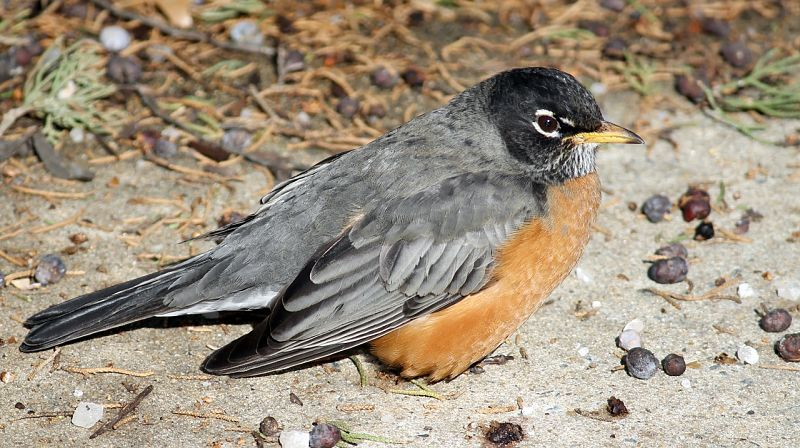 Picture of a beautiful example of the American Robin bird