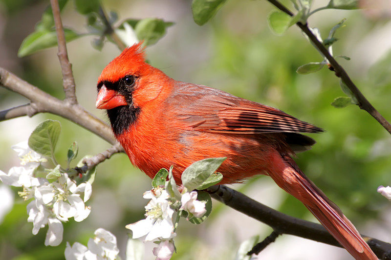 Picture of a northern cardinal bird.