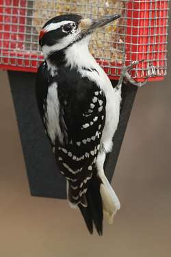 How to tell a downy from a hairy woodpecker