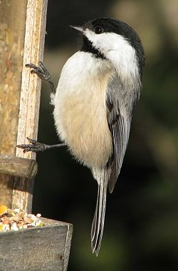 The black capped chickadee song is well-known to outdoor enthusiasts