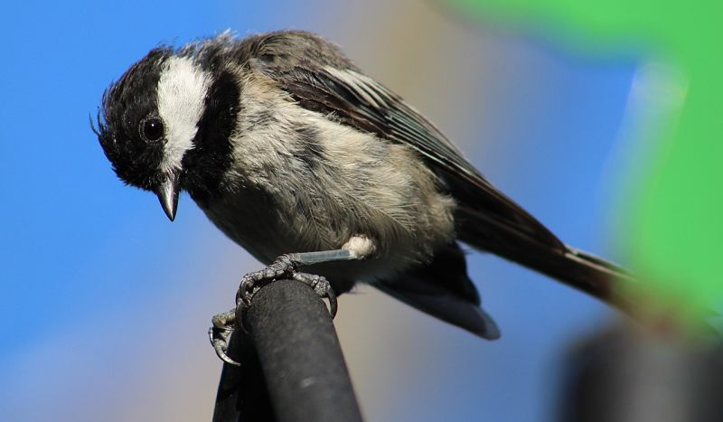 The Black-capped Chickadee of North America is a familiar sight both at backyard feeders and in deep wilderness backcountry.