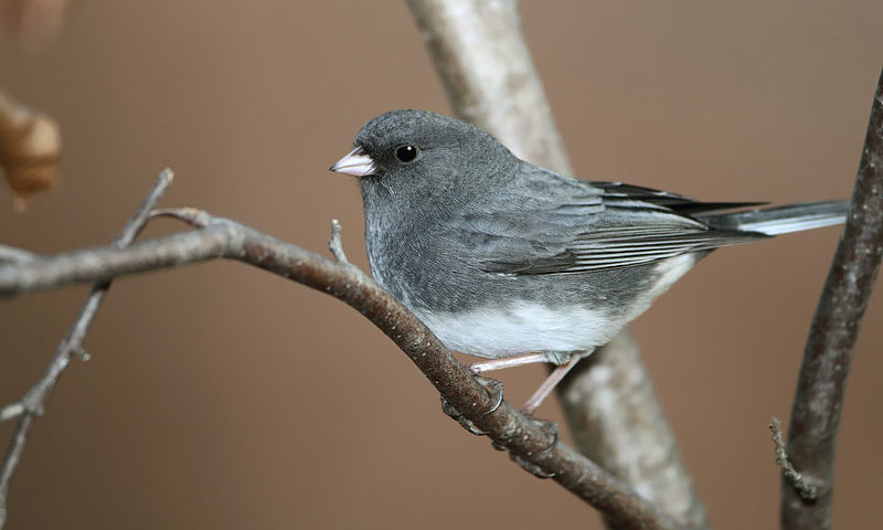 The Dark-eyed Junco bird is a handsomely suited sparrow.