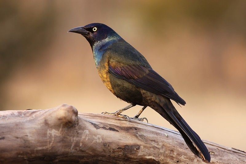 Picture of a male common grackle