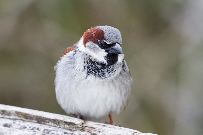 Picture of a male house sparrow